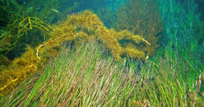 seagrass at Western Port