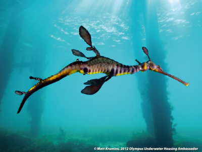 Seadragon in Western Port